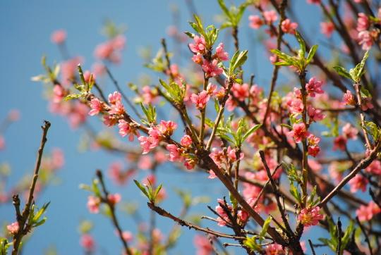 pink-purple flowers on a tree