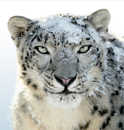 [fearsome snow leopard from apple]